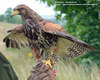Harris' Hawks House Guardians