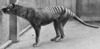 Tasmanian Tiger (Thylacine) Vehicle Guardian