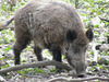 Giant Boar - August Guardian of the Month
